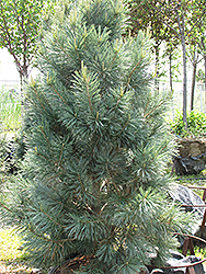 Vanderwolf's Pyramid Pine (Pinus flexilis 'Vanderwolf's Pyramid') at TERRA