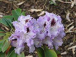 Blue Peter Rhododendron (Rhododendron 'Blue Peter') at TERRA