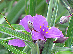 Concord Grape Spiderwort (Tradescantia x andersoniana 'Concord Grape') at TERRA