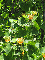 Tuliptree (Liriodendron tulipifera) at TERRA