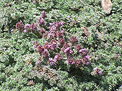 Wooly Thyme (Thymus pseudolanuginosis) at TERRA