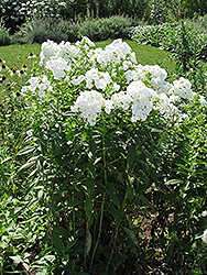David Garden Phlox (Phlox paniculata 'David') at TERRA