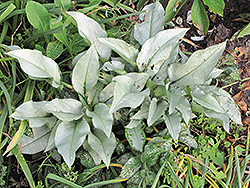 Silver Bouquet Lungwort (Pulmonaria 'Silver Bouquet') at TERRA