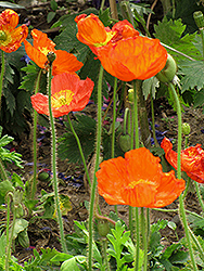 Iceland Poppy (Papaver nudicaule) at TERRA