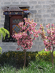 Japanese Flowering Cherry (Prunus serrulata) at TERRA
