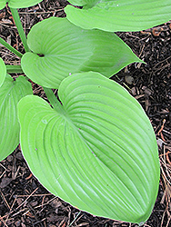 Sum and Substance Hosta (Hosta 'Sum and Substance') at TERRA