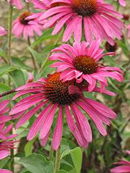 Ruby Star™ Coneflower (Echinacea purpurea 'Rubinstern') at TERRA