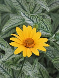 Loraine Sunshine False Sunflower (Heliopsis helianthoides 'Loraine Sunshine') at TERRA