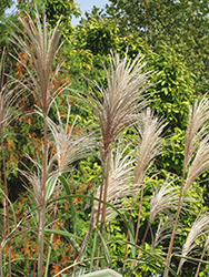 Variegated Silver Grass (Miscanthus sinensis 'Variegatus') at TERRA