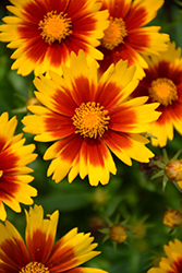 UpTick™ Gold and Bronze Tickseed (Coreopsis 'Baluptgonz') at TERRA