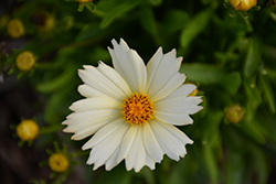 UpTick™ Cream Tickseed (Coreopsis 'Balupteam') at TERRA