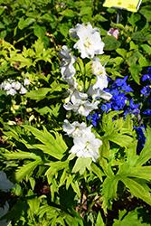 Guardian White Larkspur (Delphinium 'Guardian White') at TERRA