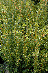 Fairview Yew (Taxus x media 'Fairview') at TERRA