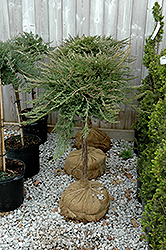 Blue Chip Juniper (tree form) (Juniperus horizontalis 'Blue Chip (tree form)') at TERRA