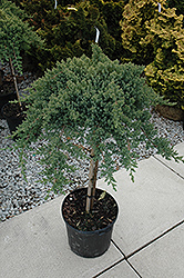 Dwarf Japanese garden Juniper (tree form) (Juniperus procumbens 'Nana (tree form)') at TERRA
