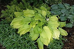 Dancing Queen Hosta (Hosta 'Dancing Queen') at TERRA