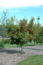 Ruby Slippers Amur Maple (Acer ginnala 'Ruby Slippers') at TERRA