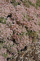 Rock 'N Grow® Pure Joy Stonecrop (Sedum 'Pure Joy') at TERRA