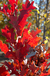 Crimson Spire Oak (Quercus 'Crimson Spire') at TERRA