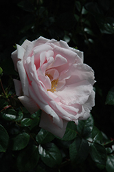 New Dawn Rose (Rosa 'New Dawn') at TERRA
