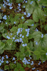 Alexander's Great Bugloss (Brunnera macrophylla 'Alexander's Great') at TERRA