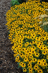 Little Goldstar Coneflower (Rudbeckia fulgida 'Little Goldstar') at TERRA