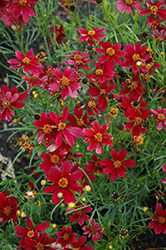 Red Satin Tickseed (Coreopsis 'Red Satin') at TERRA