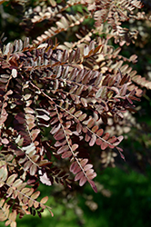 Ruby Lace Honeylocust (Gleditsia triacanthos 'Ruby Lace') at TERRA