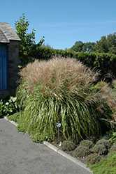 Huron Sunrise Maiden Grass (Miscanthus sinensis 'Huron Sunrise') at TERRA