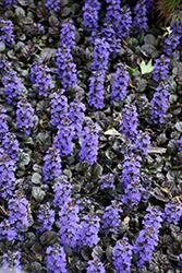 Black Scallop Bugleweed (Ajuga reptans 'Black Scallop') at TERRA