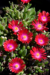 Jewel Of Desert Garnet Ice Plant (Delosperma 'Jewel Of Desert Garnet') at TERRA