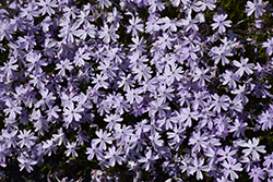Emerald Blue Moss Phlox (Phlox subulata 'Emerald Blue') at TERRA