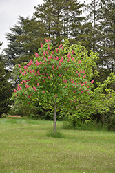 Fort McNair Red Horse Chestnut (Aesculus x carnea 'Fort McNair') at TERRA
