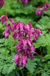 Luxuriant Bleeding Heart (Dicentra 'Luxuriant') at TERRA