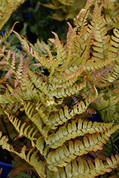 Brilliance Autumn Fern (Dryopteris erythrosora 'Brilliance') at TERRA