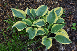 Liberty Hosta (Hosta 'Liberty') at TERRA