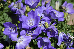Rapido Blue Bellflower (Campanula carpatica 'Rapido Blue') at TERRA