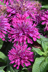 Grape Gumball Beebalm (Monarda 'Grape Gumball') at TERRA