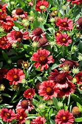 Mesa Red Blanket Flower (Gaillardia x grandiflora 'Mesa Red') at TERRA