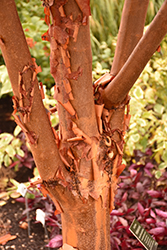 Paperbark Maple (Acer griseum) at TERRA