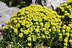 Cushion Spurge (Euphorbia polychroma) at TERRA