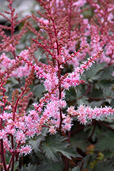 Delft Lace Astilbe (Astilbe 'Delft Lace') at TERRA