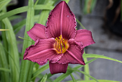 Summer Wine Daylily (Hemerocallis 'Summer Wine') at TERRA