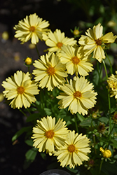 Leading Lady Lauren Tickseed (Coreopsis 'Leading Lady Lauren') at TERRA