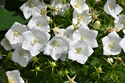 White Clips Bellflower (Campanula carpatica 'White Clips') at TERRA
