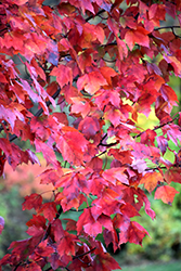 Red Maple (Acer rubrum) at TERRA