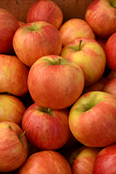 Honeycrisp Apple (Malus 'Honeycrisp') at TERRA