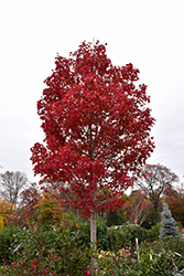 October Glory Red Maple (Acer rubrum 'October Glory') at TERRA