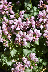 Pink Pewter Spotted Dead Nettle (Lamium maculatum 'Pink Pewter') at TERRA