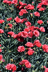 Early Bird™ Chili Pinks (Dianthus 'Wp10 Sab06') at TERRA